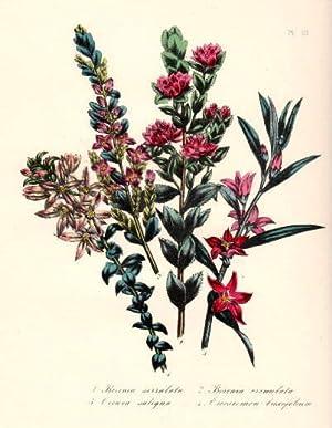 Borenia serrulata - Borenia crenulata - Ciowea: Blumen -