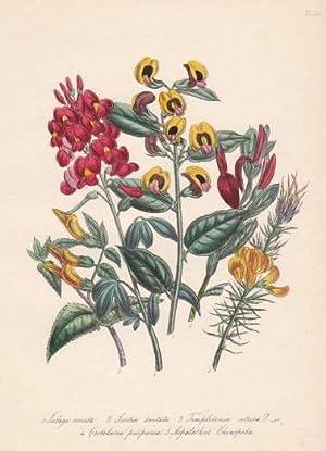 Lalage ornata - Scoitia dentata - Templetonia: Blumen -
