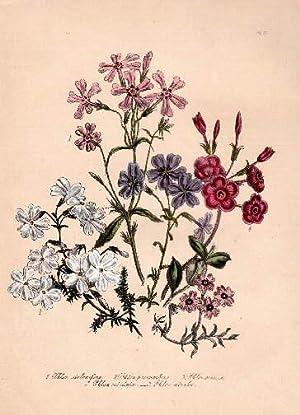 Phlox stolonifera - Phlox procumbens - Phlox: Blumen -