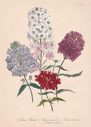 Verbena Melindres - Verbena teucroises - VerbenaJiveedieana: Blumen -