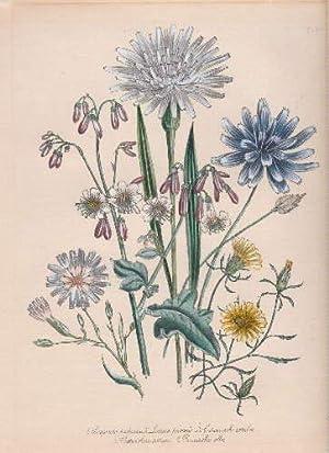 Scorzonera purpurea - Lactuca perennis - Catananche: Blumen -