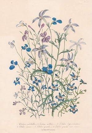 Clintonia - pulchella - Isotoma axilaris -: Blumen -