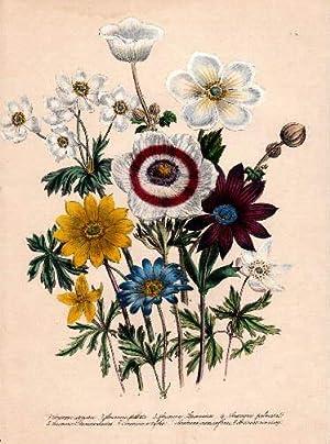 Anemone coronaria - Anemone stellata - Anemone: Blumen -