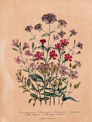 Silene quinguevulnera - Silene pendula - Silene: Blumen -
