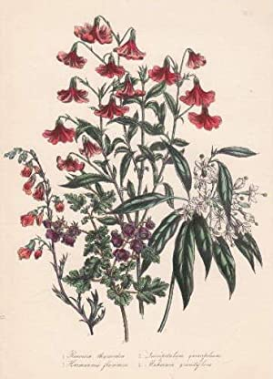 Reevesia thyrsoidea - Lasiopetalum quercifolum - Hermannia: Blumen -