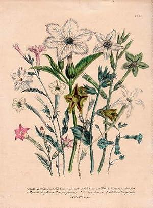 Nicotiana tabacum - Nicotiana acuminata - Nicotiana: Blumen -