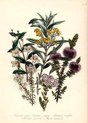 Verticordia insignis - Calythria virgata - Melaleuca: Blumen -