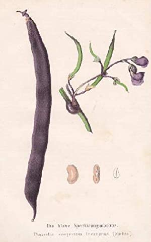 Die blaue Stangenbohne. Phaseolus compressus Lucasianus. Farbige Lithographie.