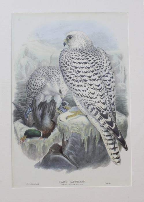 John Gould Birds Of Great Britain Zvab