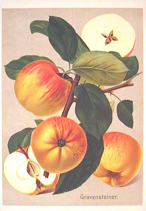 Gravensteiner. (Variety of apple). APPLE) Chromolithograph, 10 1/2 x 7 1/2 inches (27 x 19 cm) on sheet 11 x 8 inches (29 x 21 cm). Fine condition. Richly colored, three dimensional depiction