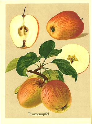 Prinzenapfel. APPLE) Chromolithograph, 10 1/2 x 7 1/2 inches (27 x 19 cm) on sheet 11 x 8 inches (29 x 21 cm). Fine condition. Tight margin at right edge. Richly colored,