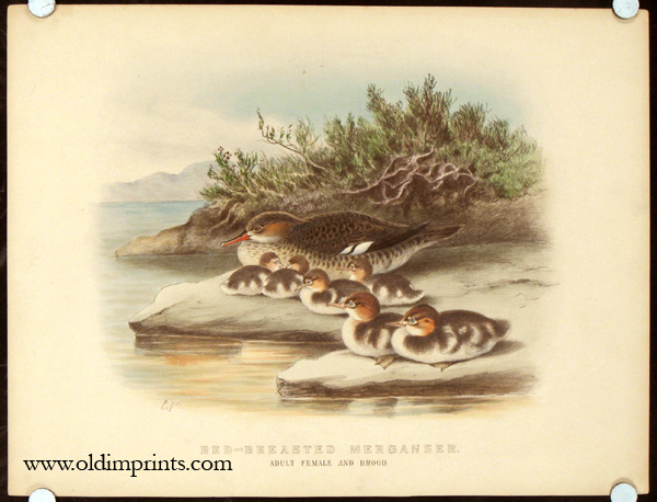 Red-Breasted Merganser. Adult Female and Brood. Neale, Edward (illus). [ ] (bi_30231257420) photo