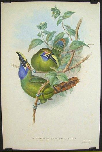 Aulacorhamphus Caeruleogularis, Gould. [Blue-throated Groove-bill].: TOUCANS) Gould & Richter (...