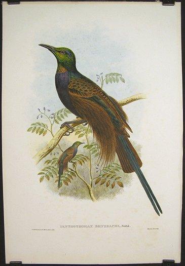 Ianthothorax Benzbachi, Buttik. [Bensbach's Bird of Paradise].: BIRDS OF PARADISE) Keulemans, ...