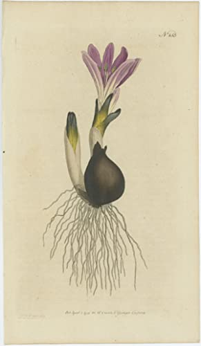 Bulbocodium Vernum. Vernal Bulbocodium. [Curtis's Botanical Magazine]