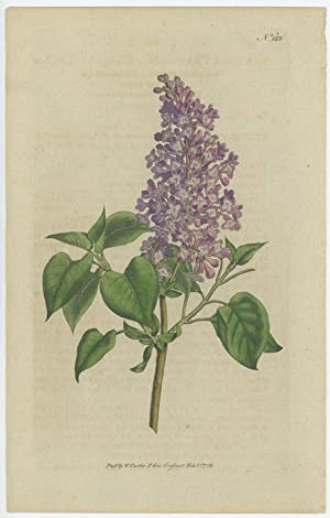 Syringa Vulgaris. Common Lilac.