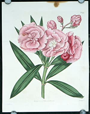 Nerium Odorum. Double Sweet-scented Rosebay, or Oleander.