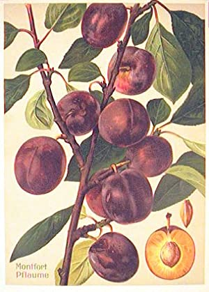Montfort Pflaume. (Variety of purple plum).