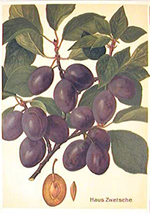 Haus Zwetsche. (Variety of purple plum).