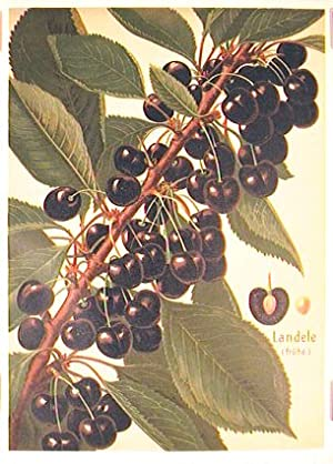 Landele (fruhe.). (Variety of cherry).