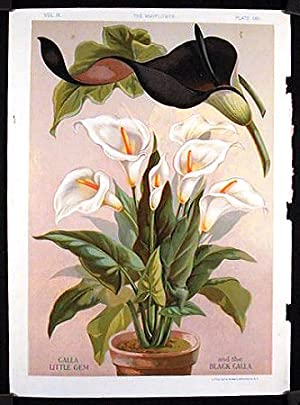 Calla Little Gem and the Black Calla.