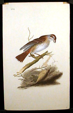Lanius Collurio. Red - Backed Butcher Bird.