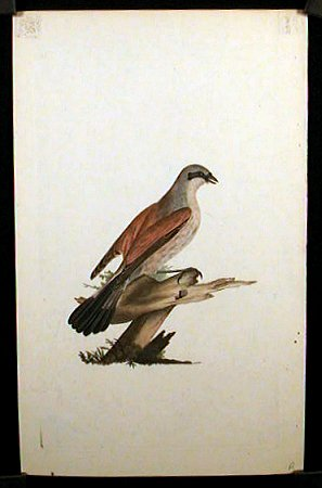 Lanius Collurio. Red - Backed Shrike, Butcher Bird, or Flusher.