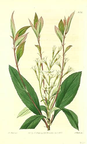 Raphiolepis salicifolia. Willow-leaved Raphiolepis.