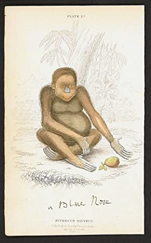 Pithecus Satyrus. (The Red or Asiatic Orang-outang). Native of Borneo.