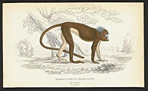 Semnopithecus Melalophas. (The Simpai.). Native of Java.