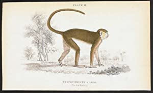 Cercopithecus Ruber. (The Red Monkey.). Native of Senegal.