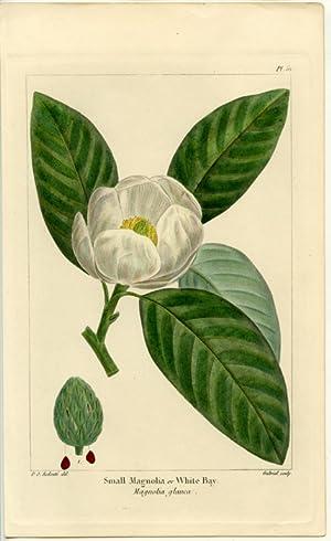 Small Magnolia or White Bay. Magnolia glauca.: NORTH AMERICAN SYLVA