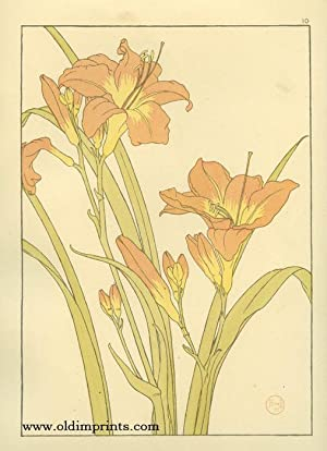 The Day Lily.