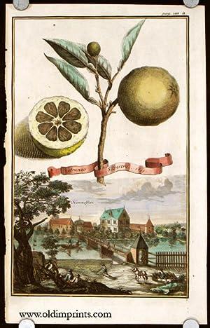Aranzo Silvestre. 1699. Hummelstein.: CITRUS FRUIT) Volckamer,