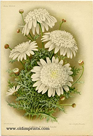 Anthemis Madame F. Sander.