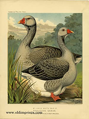 Mr. James Watts' Pair of Toulouse Geese Winners of Five First Prizes.