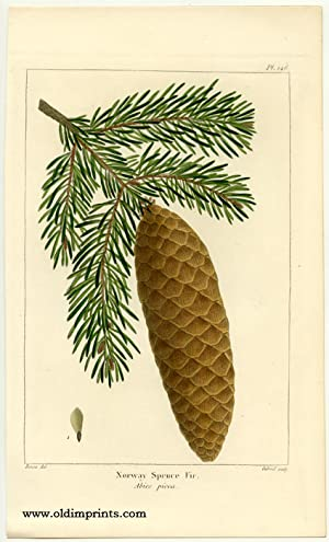 Norway Spruce Fir. Abies picea.