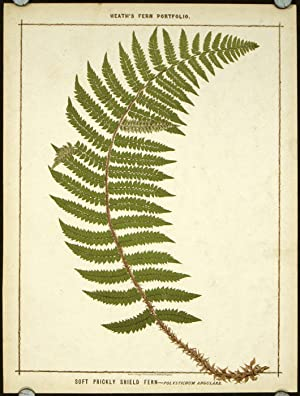 Soft Prickly Shield Fern - Polystichum Angulare.