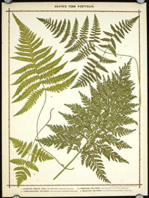 1. European Bristle Fern. 2. Limestone Polypody. 3. Three-Branched Polypody. 4. Mountain Polypody.