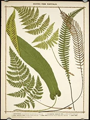1. Hartstongue. 2. Hay-Scented Buckler Fern. 3. Rigid Buckler Fern. 4. Hard Fern. 5. Harn Fern.