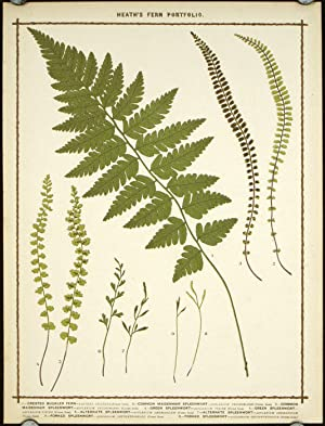 1. Crested Buckler Fern. 2. Common Maidenhair Spleenwort. 3. Common Maidenhair Spleenwort. 4. Gre...