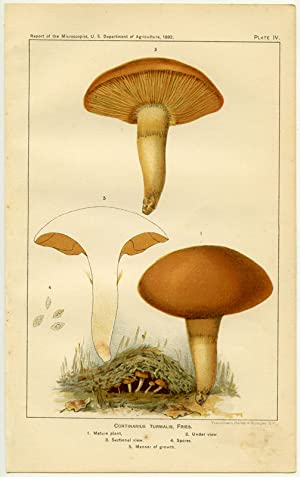 Cortinarius Turmalis, Fries. 1. Mature plant. 2. Under view. 3. Sectional view. 4. Spores. 5. Man...