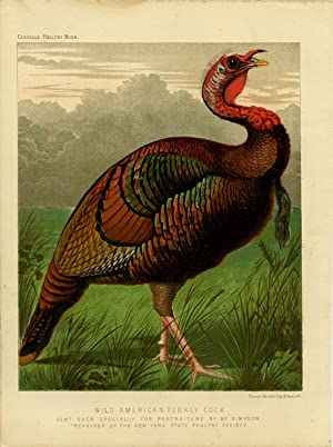 Wild American Turkey Cock. Sent Over Specially For Portraiture by Mr. Simpson. Treasurer of the N...