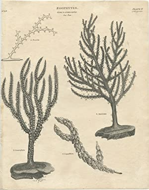 Zoophytes. Genus Gorgonia. Sea Fan.