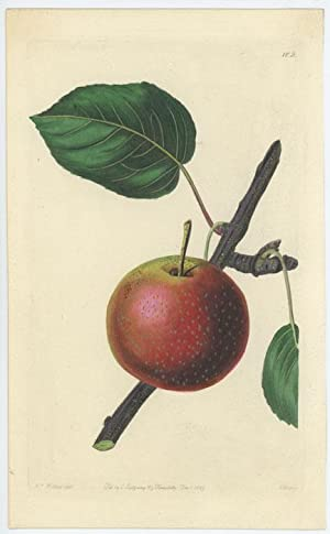 The Summer Rose Pear.