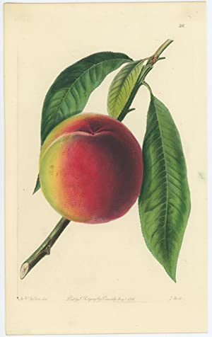 The Bellegarde Peach.
