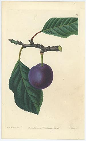 The Purple Gage Plum.