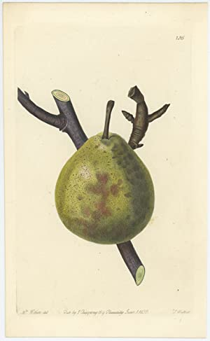 The Winter Nelis Pear.