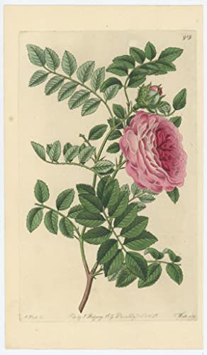 Rosa microphylla. Small-leaved Chinese Rose. [The Botanical Register]