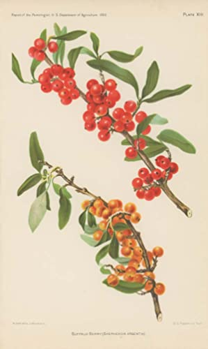 Buffalo Berry (Shepherdia Argentia).